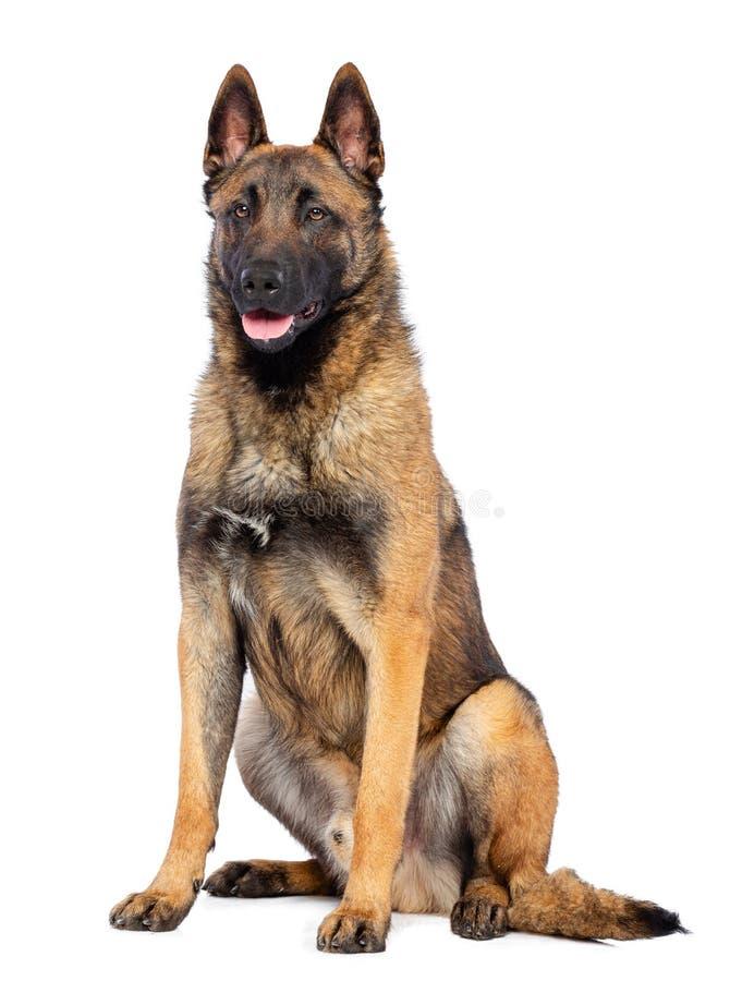 Berger belge Dog, chien de malinois sur le fond blanc d'isolement photos stock