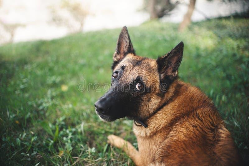 Berger belge Dog, portrait images libres de droits