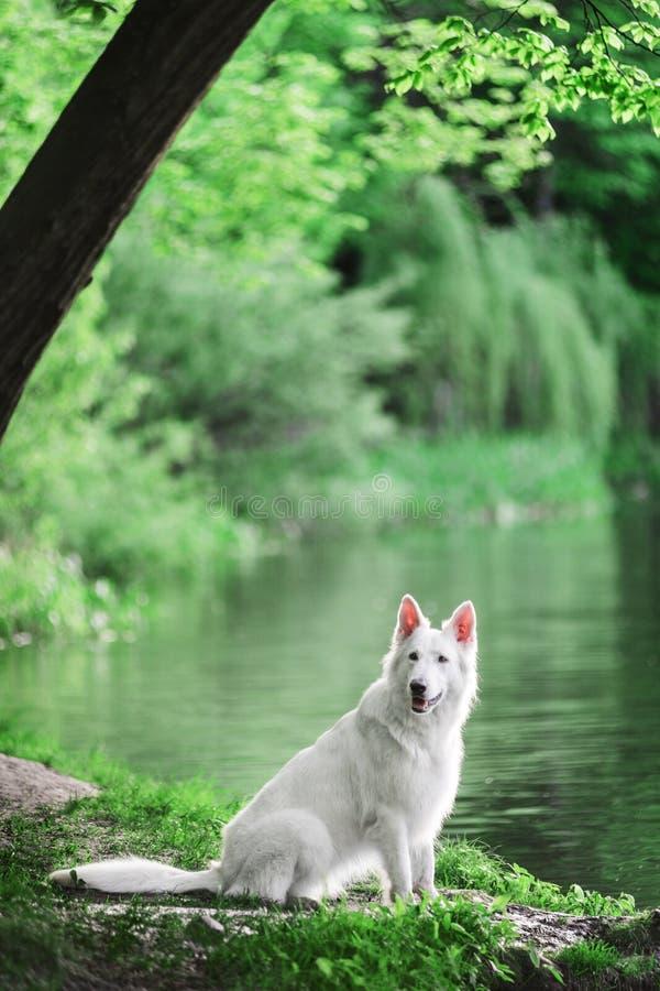 Berger Blanc Suisse som sitter på skogen nära sjön royaltyfria bilder