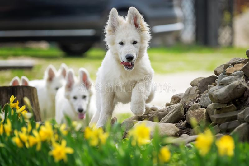 Berger Blanc Suisse White german shepherd poppy. Berger Blanc Suisse. White german shepherd dog in grass royalty free stock images