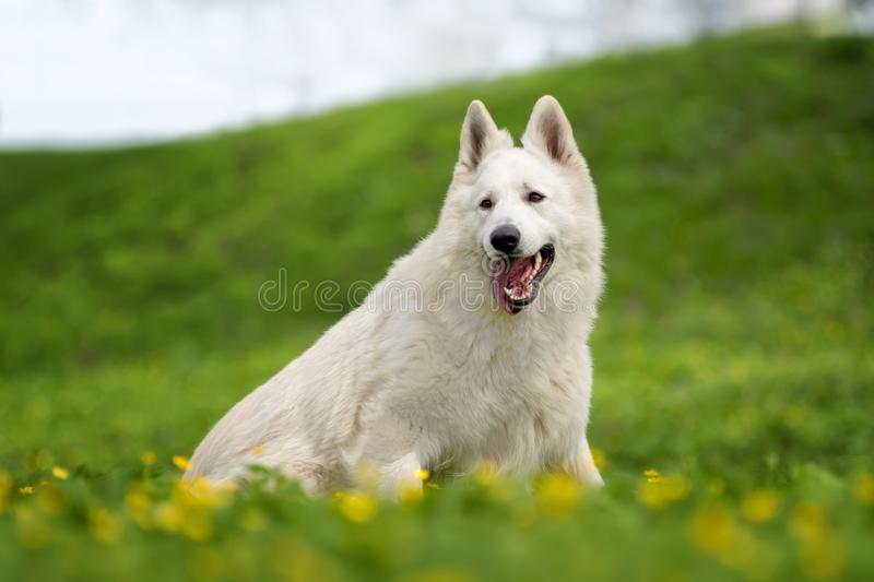 Berger Blanc Suisse White german shepherd. White german shepherd in the summer meadow. Berger Blanc Suisse royalty free stock photography