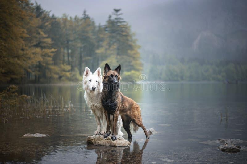 Berger blancsuisse och den belgiska herden på vaggar i ett härligt landskap mellan berg Två hundkapplöpning på sjön arkivfoto