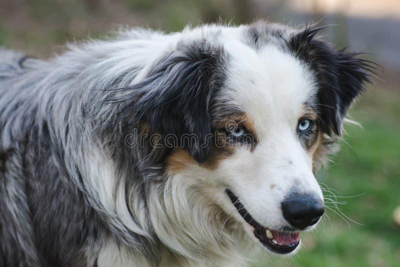 Berger bleu d'Australien de Merle photo stock