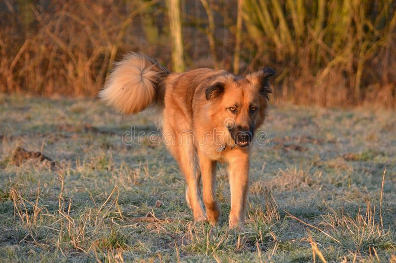Berger Crossbreed images stock