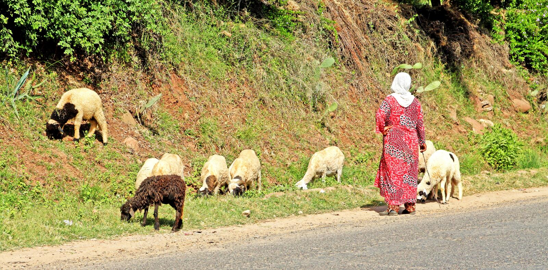 Berger et sheeps de femme photographie stock libre de droits
