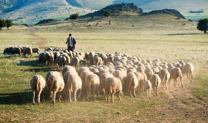 Berger et troupeau de moutons image stock