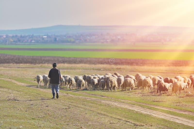 Berger et troupeau de moutons au coucher du soleil avec la lumière chaude images stock