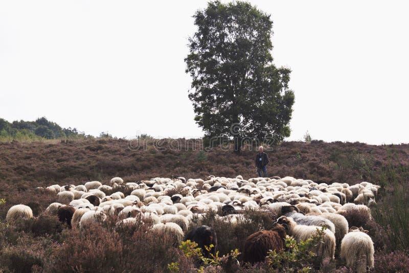 Berger et troupeau des moutons, Havelte, Hollande photo stock