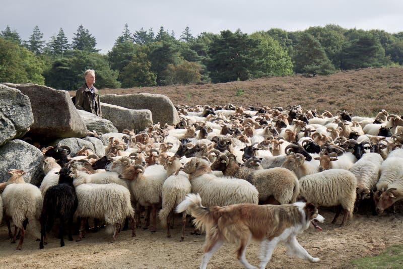 Berger et troupeau des moutons près de Havelte, Hollande photos libres de droits