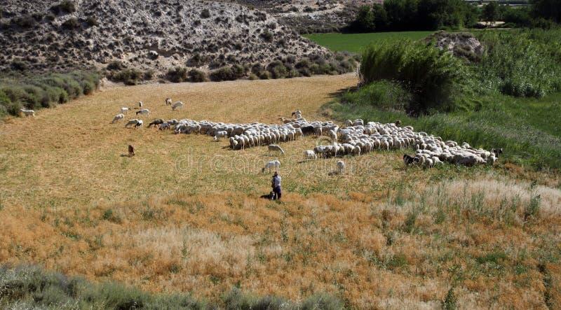 Berger et un troupeau des moutons photo stock