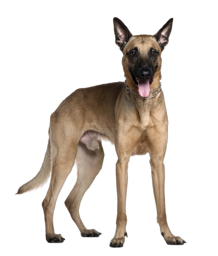 Download Berger Malinois, 3 Years Old, Standing Stock Image - Image: 23087603