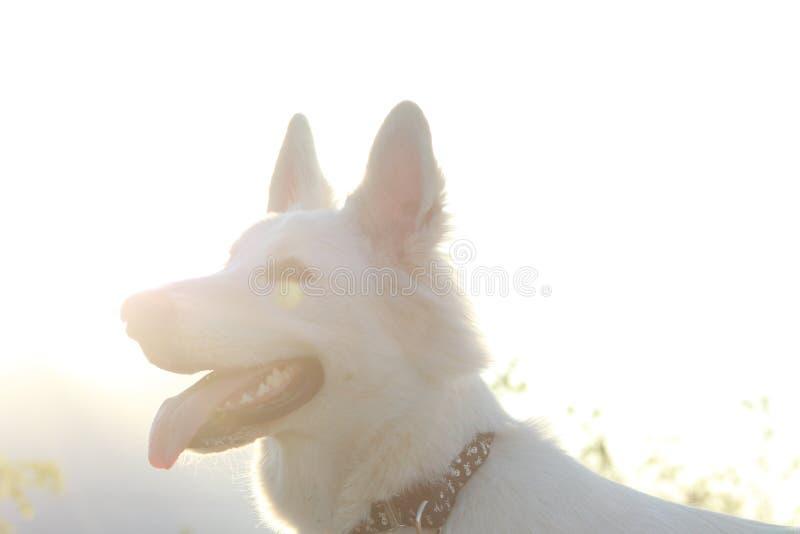 Berger suisse blanc Dog contre Sun photos libres de droits