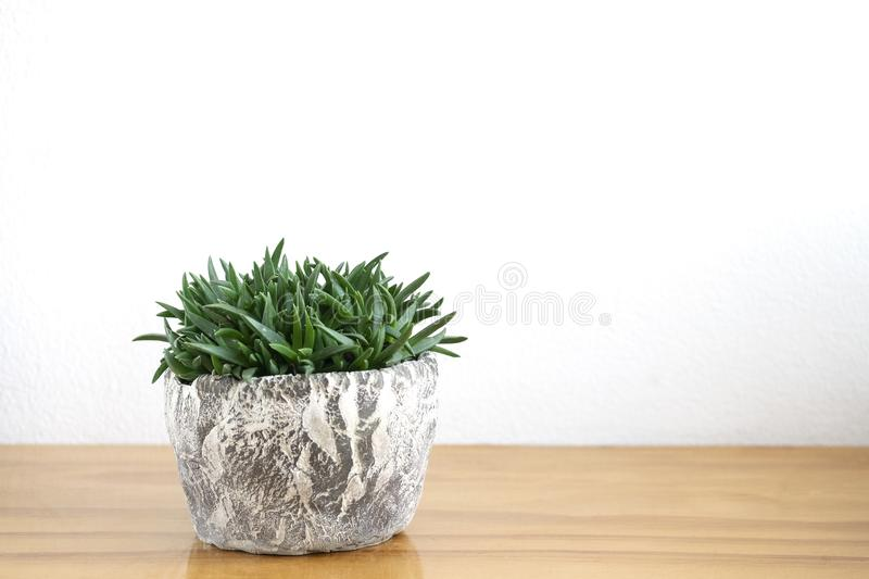 Pot of Green Succulent, Bergeranthus multiceps stock images