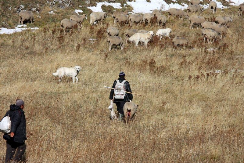 Bergers avec les agneaux nouveau-nés, mamie Sasso, Italie photographie stock