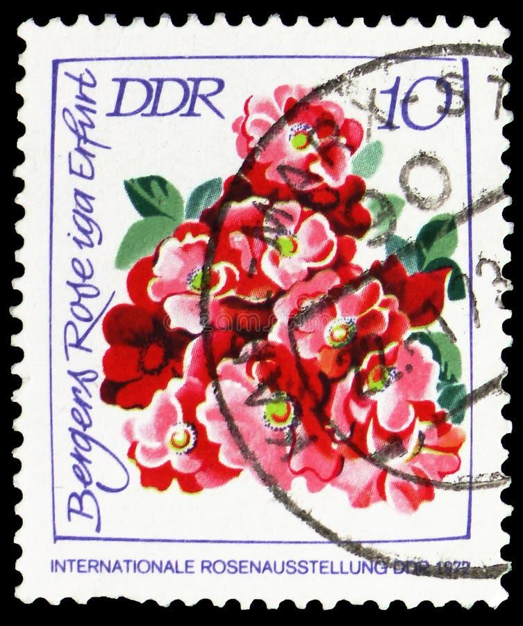 Bergers Rose iga Erfurt, International Rose Exhibition serie, circa 1972 royalty free stock photography