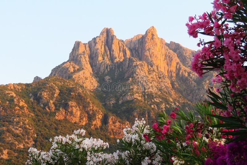 Berget överträffar att färga apelsinen i aftonljuset på solnedgången med vita och rosa bougainvilleablommor framme, Porto, Korsik royaltyfri foto