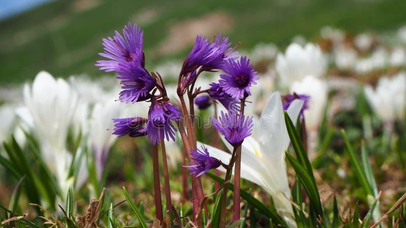 Berget blommar i vår, alpin snowbell, soldanellaalpinaen eller blåttmoonworten, fjällängar, Europa arkivfoto