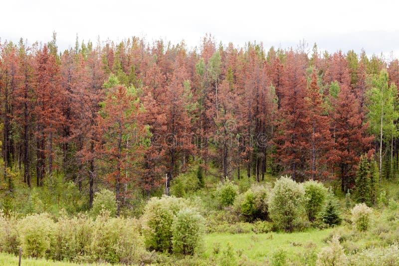 Berget sörjer skalbaggen dödade pinjeskogen royaltyfri bild