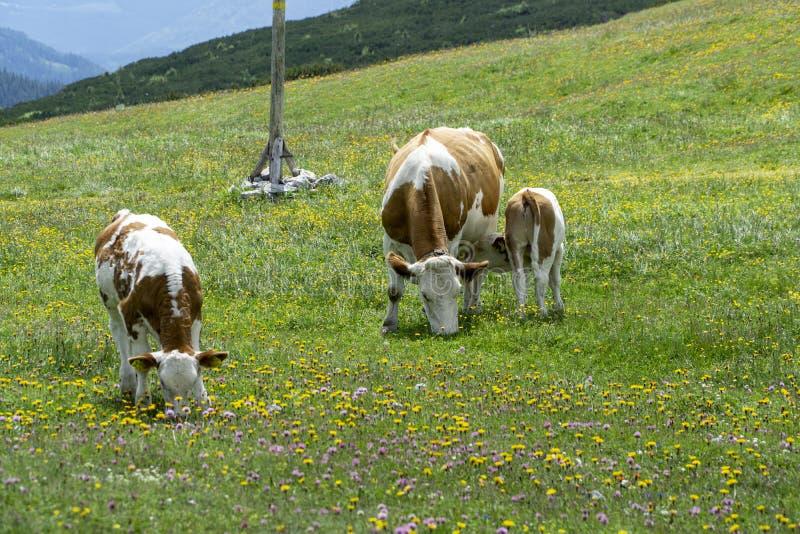 Berggebied met koeien in de alp stock afbeelding