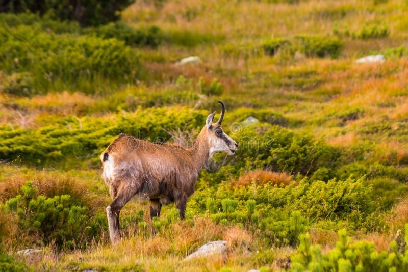 Berggeit alias Rupicapra Rupicapra Tatrica in Hoge Tatras, Slowakije royalty-vrije stock foto