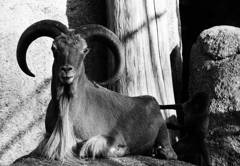 Berggeit met hoornen dierlijk zwart wit stock foto