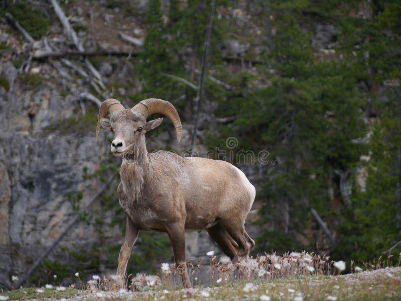 Berggeit in Nationaal Park stock afbeeldingen