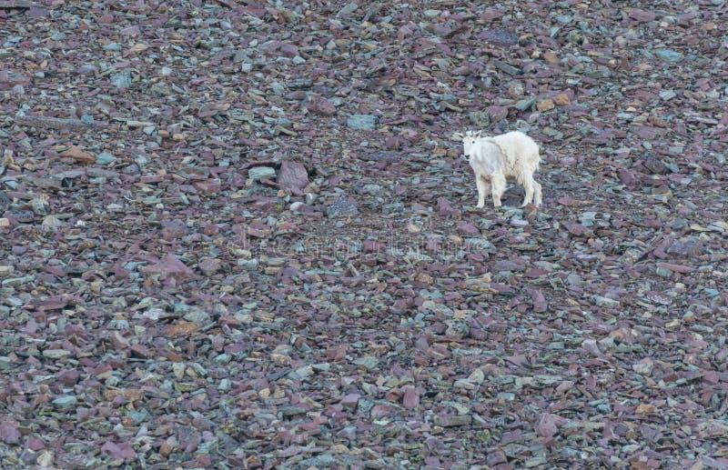 Berggeit op Puinkegelgebied royalty-vrije stock foto's
