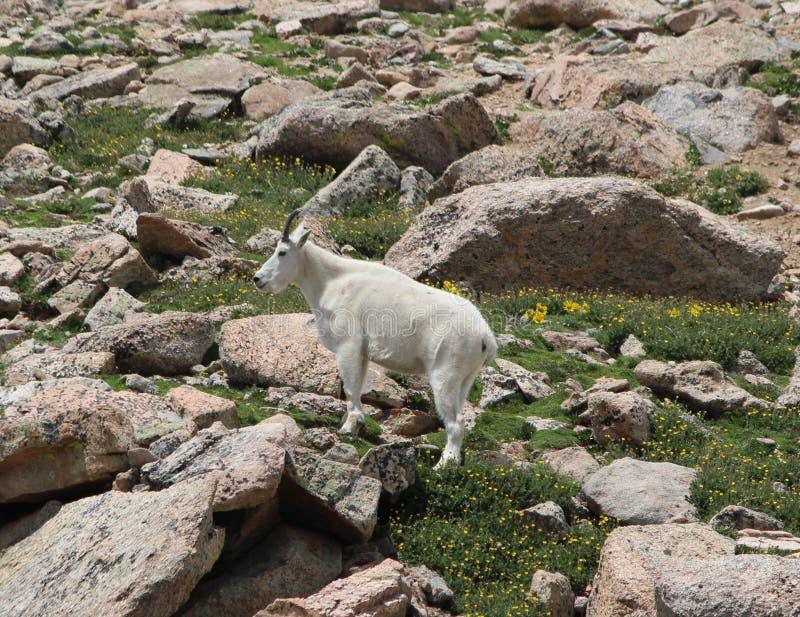 Berggeit Oreamnos americanus op MT Evans, Colorado stock foto's