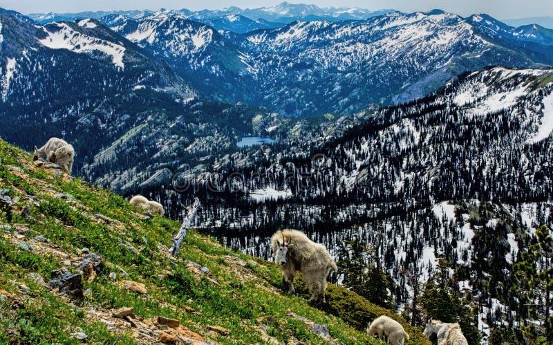 Berggeiten die in Alpien voeden stock afbeelding