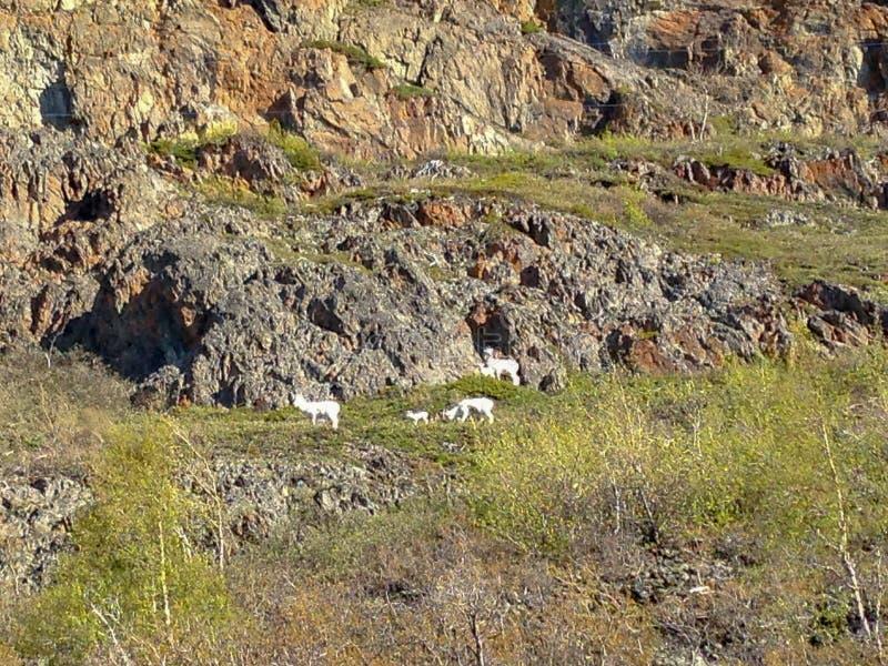 Berggeiten die op Berghelling weiden stock foto's