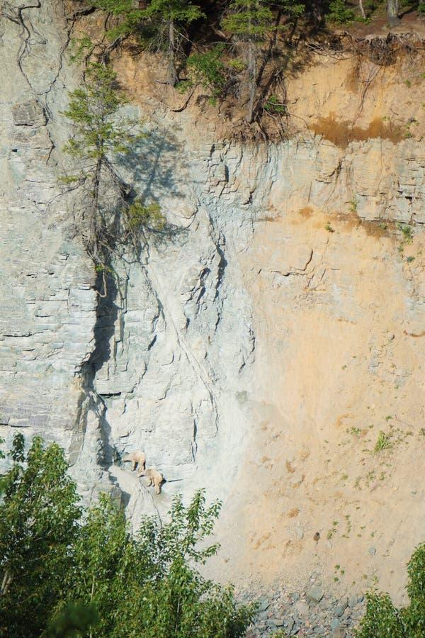 Berggeiten die zoute rotsen likken dichtbij Gletsjer Nationaal Park royalty-vrije stock fotografie