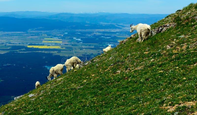 Berggeiten op Berghelling royalty-vrije stock foto's
