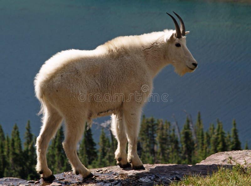 Berggoat oben genannter versteckter See lizenzfreies stockfoto