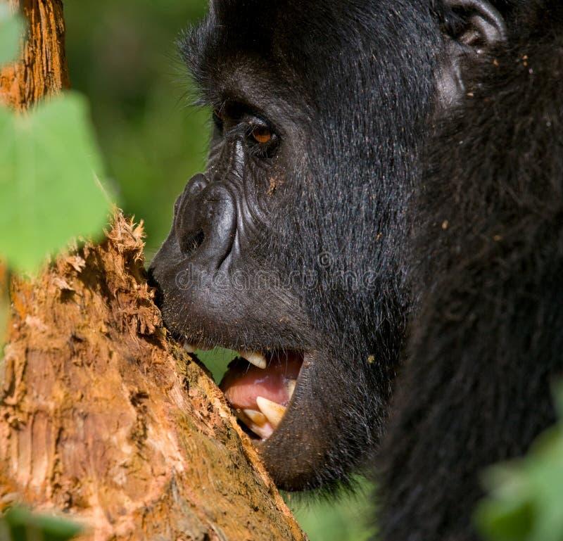 Berggorilla die installaties eten oeganda Bwindi Ondoordringbaar Forest National Park stock fotografie