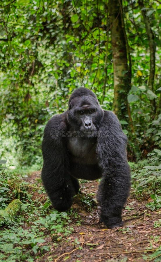 Berggorilla's in het regenwoud Oeganda Bwindi Ondoordringbaar Forest National Park royalty-vrije stock afbeelding
