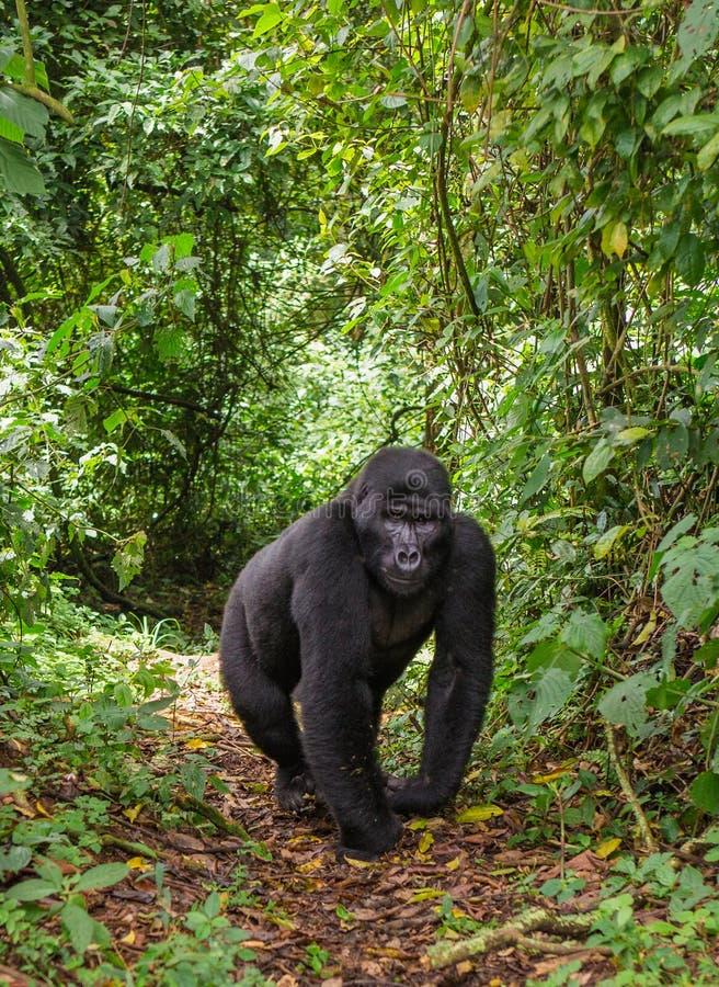 Berggorilla's in het regenwoud Oeganda Bwindi Ondoordringbaar Forest National Park royalty-vrije stock afbeeldingen