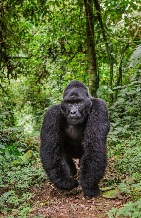 Berggorilla's in het regenwoud Oeganda Bwindi Ondoordringbaar Forest National Park stock afbeeldingen