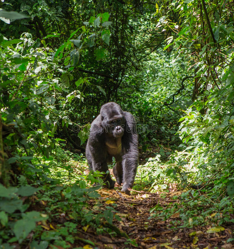 Berggorilla's in het regenwoud Oeganda Bwindi Ondoordringbaar Forest National Park royalty-vrije stock foto's