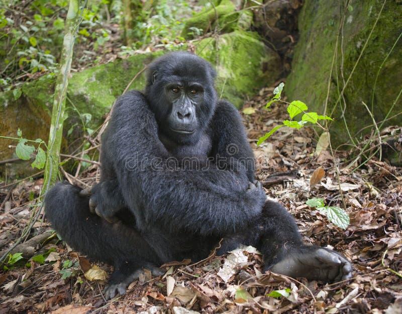 Berggorilla's in het regenwoud Oeganda Bwindi Ondoordringbaar Forest National Park stock foto