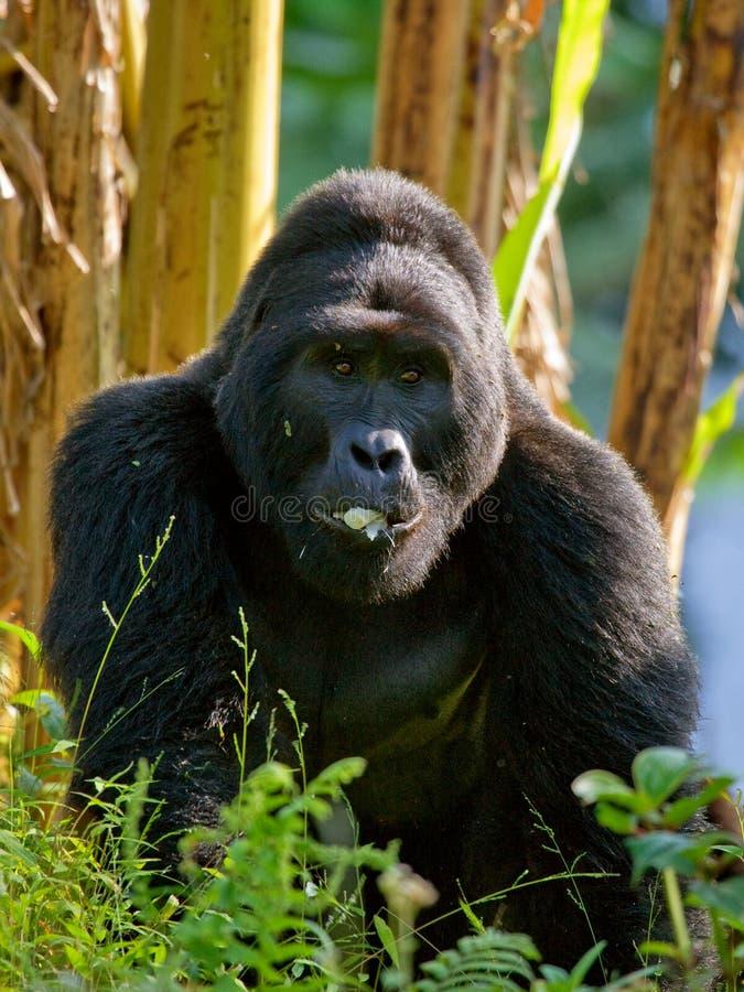 Berggorilla's in het regenwoud Oeganda Bwindi Ondoordringbaar Forest National Park royalty-vrije stock foto