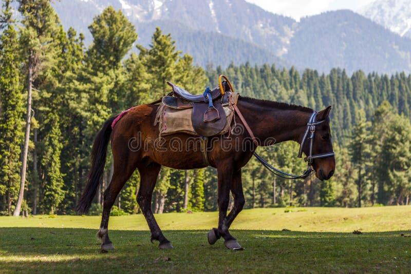 Berghäst, härliga pinjeskogar royaltyfri fotografi