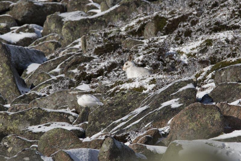 Berghare, Lepustimidus, slut upp ståenden, medan sitta som lägger på snö under vinter i vinter-/sommarlag under autumn/wi fotografering för bildbyråer