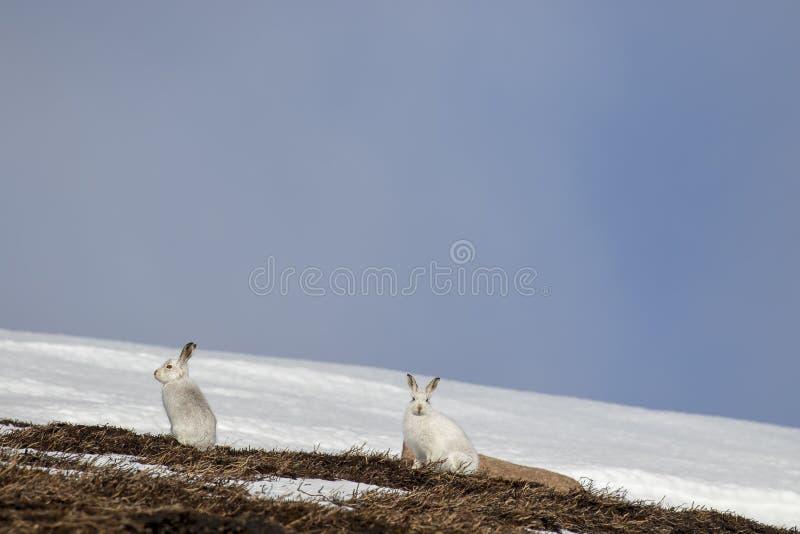 Berghare, Lepustimidus som, är lösa i grupp och spring på den insnöade vintern, februari i röktopornas nationalpark, Skottland royaltyfria bilder