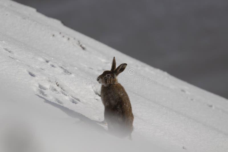 Berghazen, Lepus-timidus, in Oktober nog in de zomerlaag door sneeuw in de rookkwartsen NP, Schotland wordt omringd dat royalty-vrije stock foto's