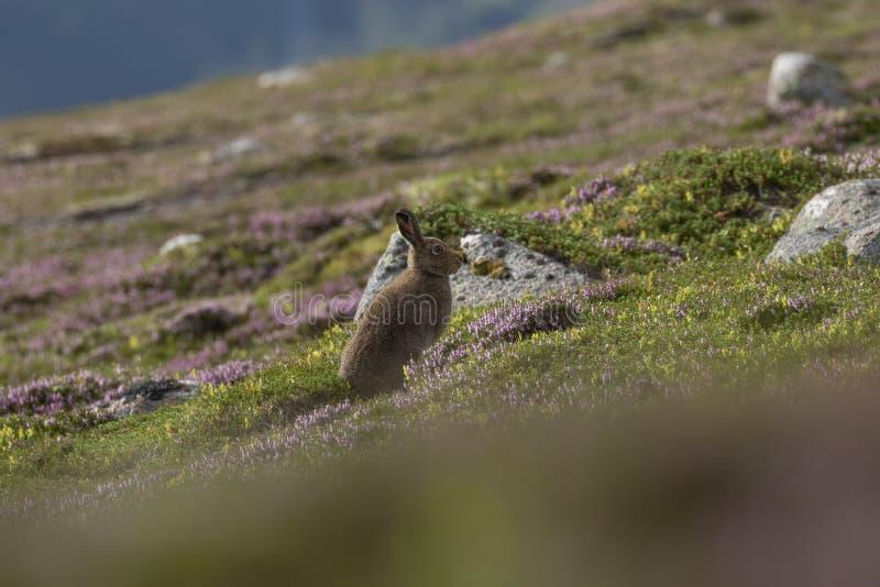 Berghazen, Lepus-timidus, onder leng purpere heide op een berghelling in rookkwartsen NP, Schotland in juli stock foto's