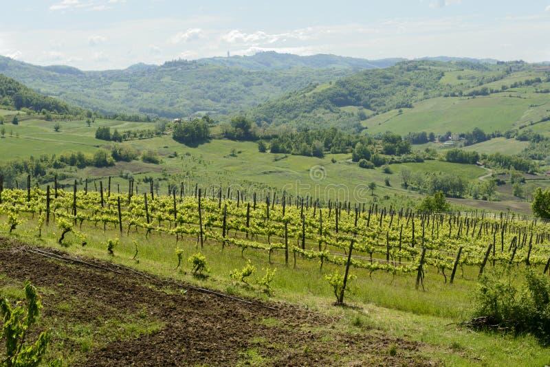 Bergig vingård i den Curone dalen, Piedmont, Italien arkivbilder