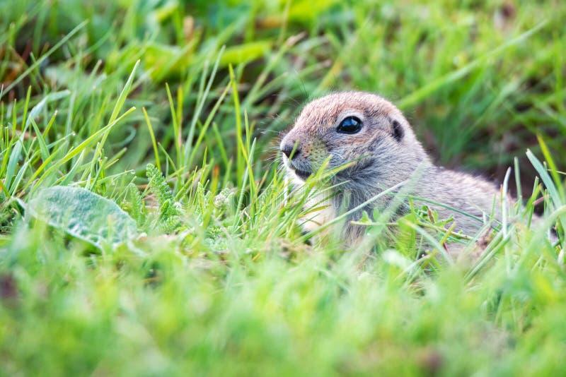Bergkaukasisches Gopher oder Spermophilus musicus im Gras in Russland lizenzfreies stockfoto