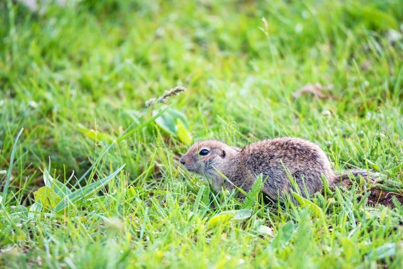 Bergkaukasisches Gopher oder Spermophilus musicus im Gras in Russland stockfoto