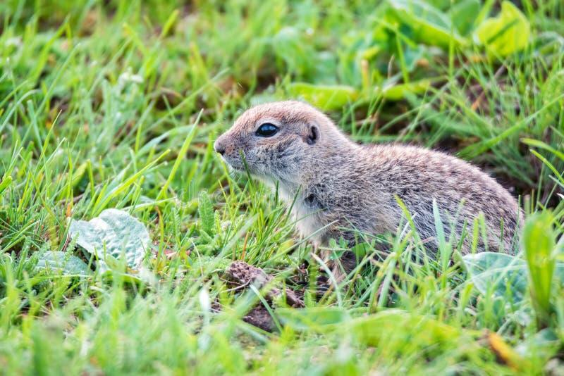 Bergkaukasisches Gopher oder Spermophilus musicus im Gras in Russland stockfotografie
