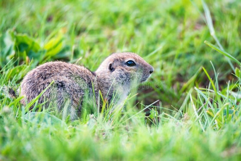 Bergkaukasisches Gopher oder Spermophilus musicus im Gras in Russland lizenzfreie stockfotografie